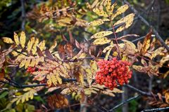 Red rowan branch on the background of autumn yellow leaves stock photo