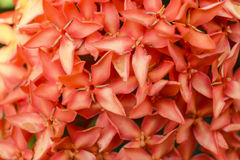 Close up red Rubiaceae flowers, Ixora flower Stock Image