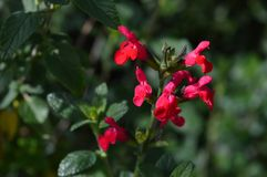 Close-up of Red Salvia Microphylla Flowers, Macro, Nature. Background stock photos