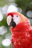A close-up of a red scarlet macaw in Costa Rica. A first plane of a lapa or scarlet red macaw in a Costa Rican national park Stock Photos