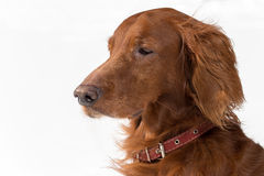 Close-up Red Setter. Close-up  portrait of Red Setter on white background Royalty Free Stock Photo