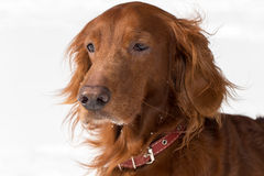 Close-up Red Setter. Close-up  portrait of Red Setter on white background Stock Image