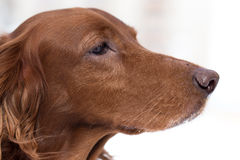 Close-up Red Setter. Close-up  portrait of Red Setter on white background Royalty Free Stock Photography