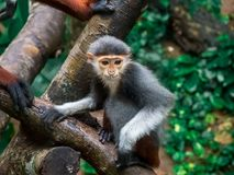 Close up Red-shanked douc langur monkey on the tree with family. royalty free stock images