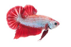 Beautiful betta splendens isolated on white background. Close-up of red siamese fighting fish betta splendens isolated on white background royalty free stock photos