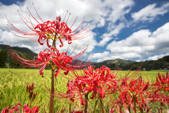 Close up red spider lily Royalty Free Stock Photos