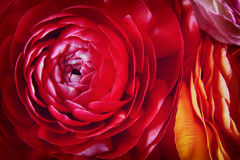 Close up of of red spring flowers. top view photo stock photo