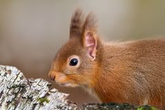Close up of a red squirrel Royalty Free Stock Photos