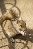 Close-up of a red squirrel eating peanuts in St James �Park, London Stock Photography