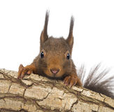 Close-up of a Red squirrel or Eurasian red squirrel, Sciurus vulgaris, hiding behind a branch. Isolated on white Stock Photo