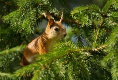 Close up of a Red squirrel in a fir tree royalty free stock images