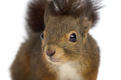 Close-up of a Red squirrel Stock Photos