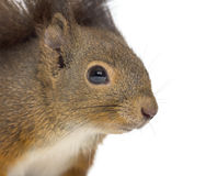 Close-up of a Red squirrel Royalty Free Stock Photography
