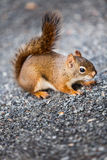 Close-up of a Red Squirrel on the ground. Close-up of a Red Squirrel on the ground somewhere in Quebec, Canada Stock Images