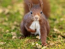 Close up red squirrel looking in a natural park royalty free stock image