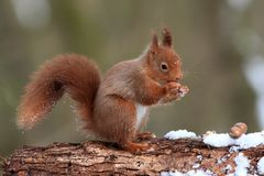 Red Squirrel in Winter Royalty Free Stock Image