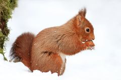 Red Squirrel in the Snow Stock Photography