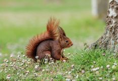 Close up red squirrel in the spring forest stock photos