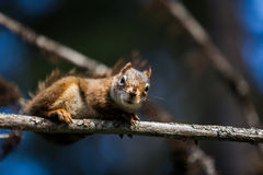 Close-up of a Red Squirrel in a tree. Close-up of a Red Squirrel in a tree somewhere in Quebec, Canada Stock Image