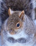 Red Squirrel. Close up of a red squirrel in winter, eastern Ontario Stock Images