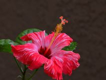Close up a red-striped hibiscus. An image of a red striped hibiscus against a dark background Royalty Free Stock Image