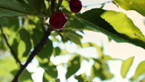 Red and sweet cherries on a branch. Close up of red and sweet cherries on a branch stock video