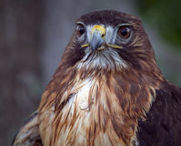 Close up of red tailed hawk Royalty Free Stock Photography