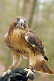 Close up of a red tailed hawk. Stock Photo