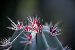 Close up of a red thorn of cactus. Macro shot of red thorn of cactus stock photography