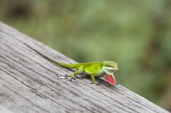 Close-up of a red-throated anole, anolis carolinensis Stock Photos