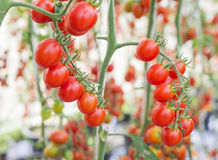 Close up red tomatoes growing in greenhouse Stock Image