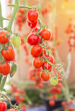 Close up red tomatoes hang on trees in greenhouse Stock Photo