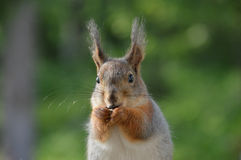 Portrait of a red tree squirrel with long furry ears eating seeds Stock Photography