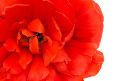 Close-up of red tulip isolated Royalty Free Stock Image