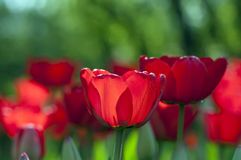 Close-Up of Red Tulips Royalty Free Stock Photo