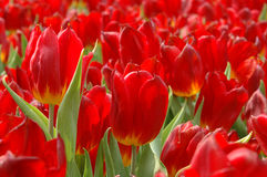 Close up of red tulips Stock Images