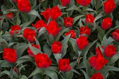 Close-up of red tulips in beautiful european park Royalty Free Stock Photo