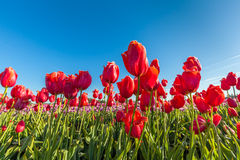 Close up red tulips in field Stock Photo