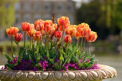 Tulips in a flower pot stock image