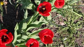 Close up of red tulips flowering in spring sunshine. A strong wind stock video footage