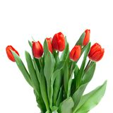 Close-up red tulips isolated Royalty Free Stock Photography