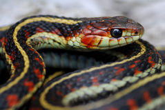 A close up of a red valley garter snake Royalty Free Stock Photography