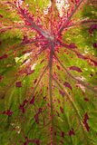 Close-up of red veins on Caladium leaf Stock Photography