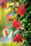 Close-up of red vine leaves. In the warm light of autumnal sun with green and yellow plants in the background Royalty Free Stock Photos