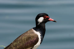 Close up Red-wattled Lapwing Royalty Free Stock Photography