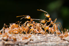 Close up of red weaver ant with wide open mandibles and ready to Royalty Free Stock Images