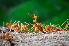 Close up of red weaver ant with wide open mandibles and ready to Royalty Free Stock Photos