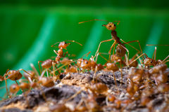 Close up of red weaver ant with wide open mandibles and ready to Stock Photos