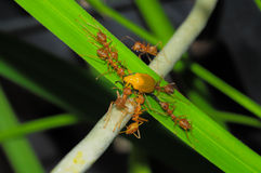 Close up of red weaver ants, teamwork or red weaver ants rip apart their prey Stock Images