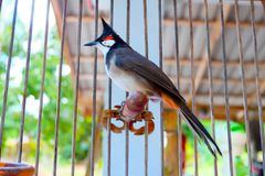 Close-up Red-whiskered Bulbul at my home. stock images